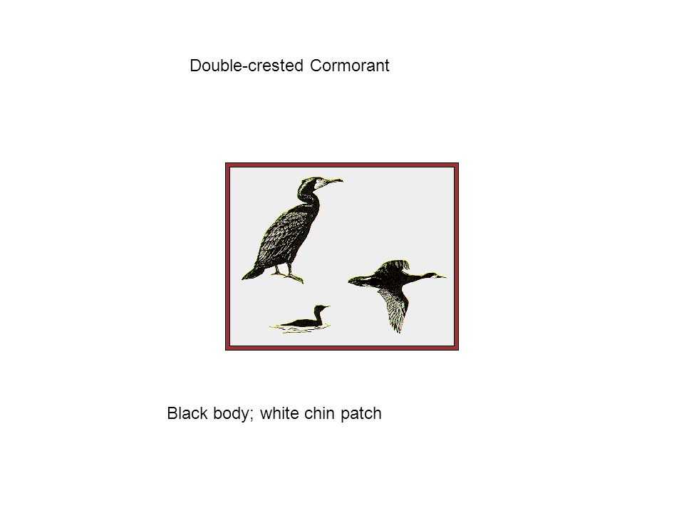 Double-crested Cormorant Black body; white chin patch