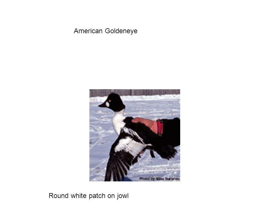 American Goldeneye Round white patch on jowl