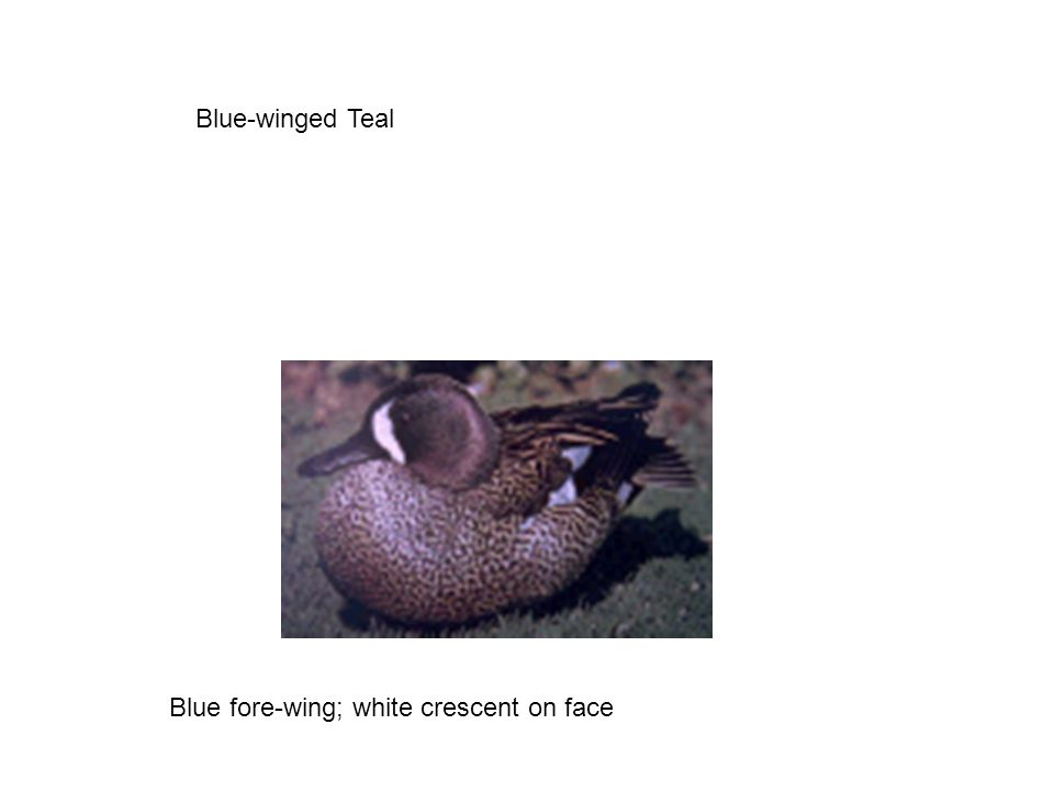 Blue-winged Teal Blue fore-wing; white crescent on face