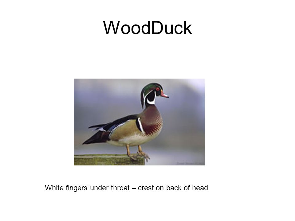 WoodDuck White fingers under throat – crest on back of head