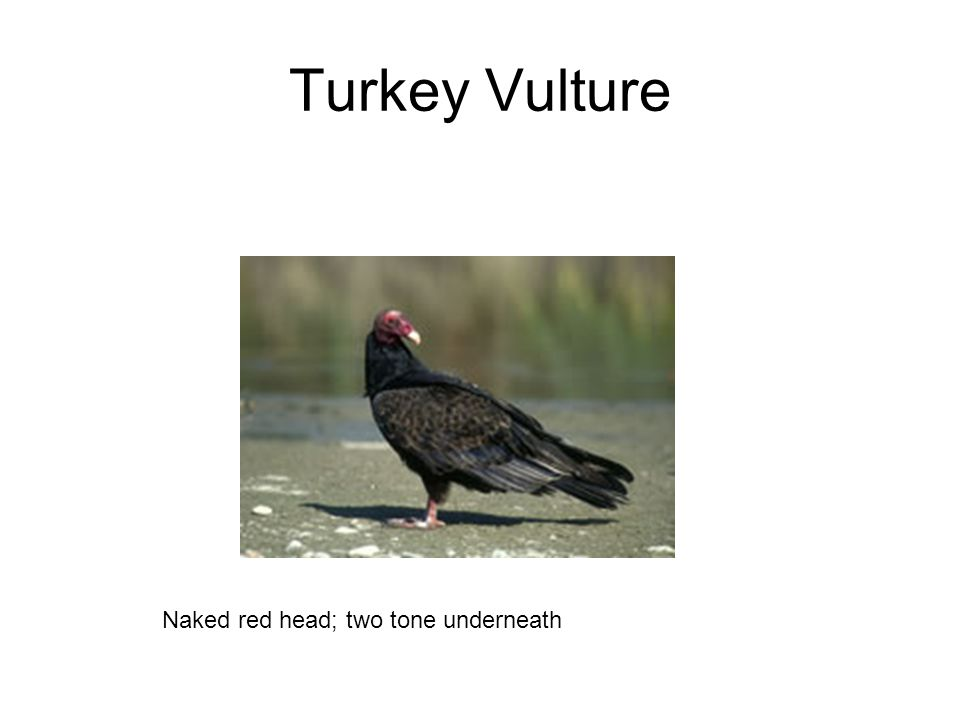 Turkey Vulture Naked red head; two tone underneath