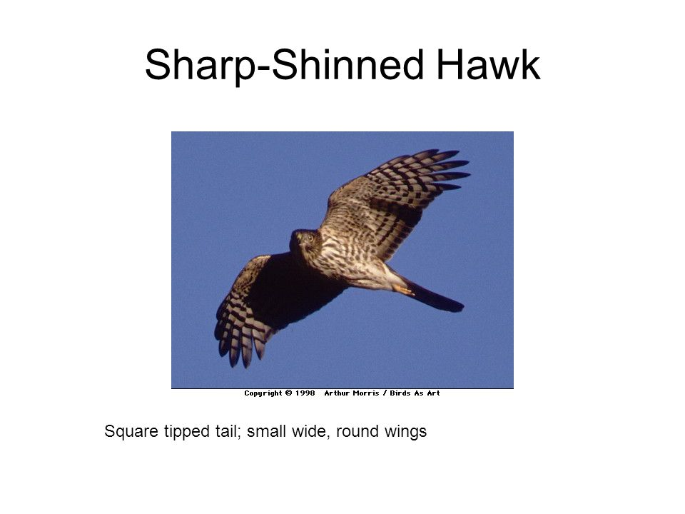 Sharp-Shinned Hawk Square tipped tail; small wide, round wings