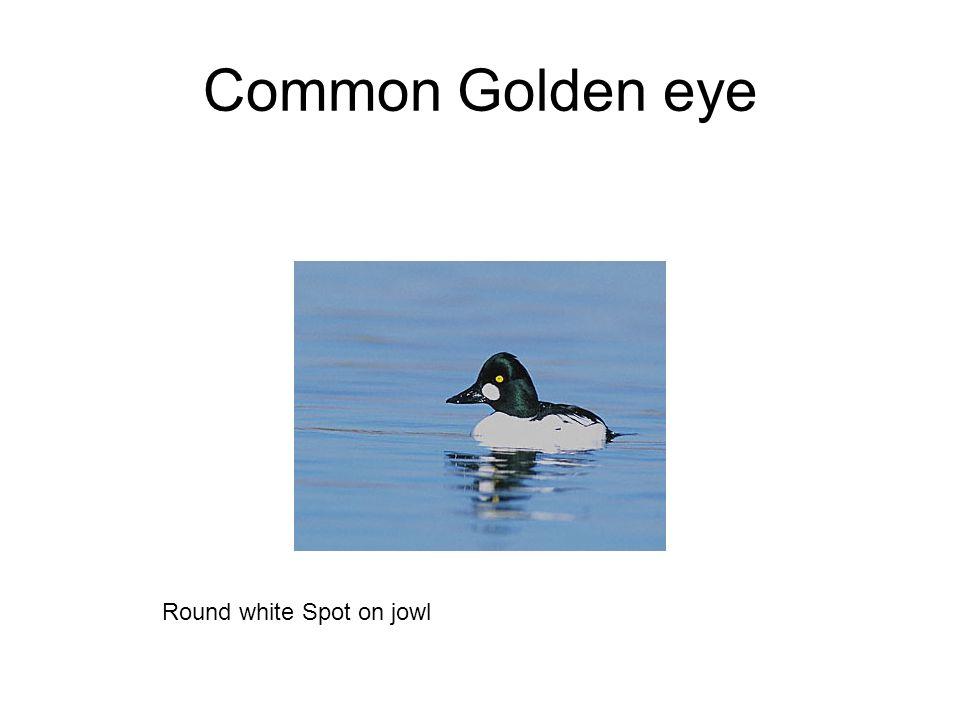 Common Golden eye Round white Spot on jowl