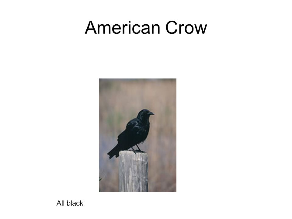 American Crow All black