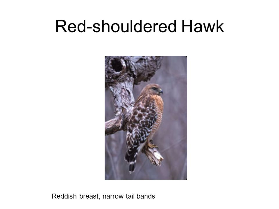 Red-shouldered Hawk Reddish breast; narrow tail bands