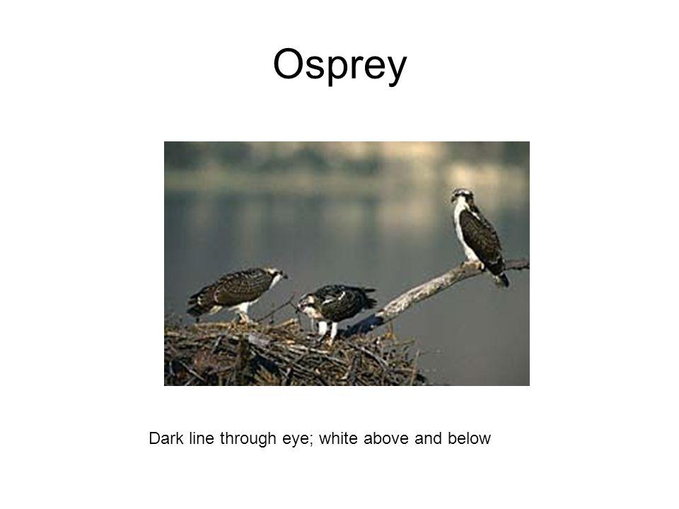 Osprey Dark line through eye; white above and below
