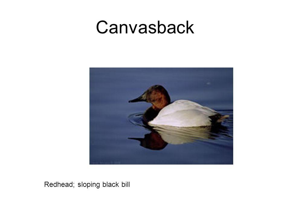 Canvasback Redhead; sloping black bill