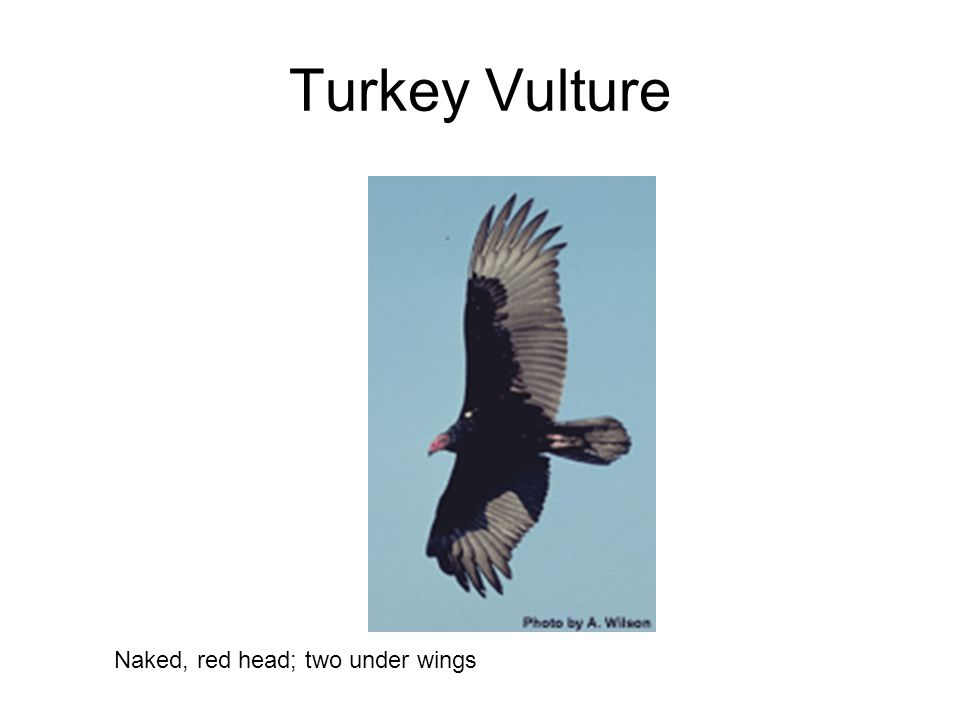 Turkey Vulture Naked, red head; two under wings