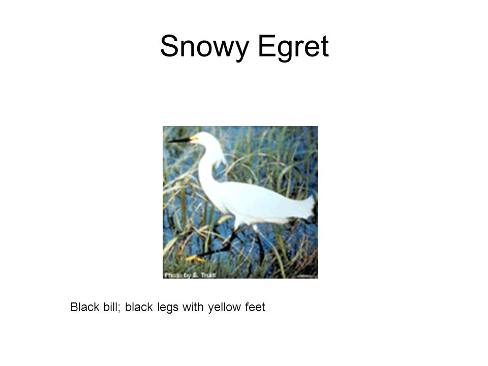 Snowy Egret Black bill; black legs with yellow feet