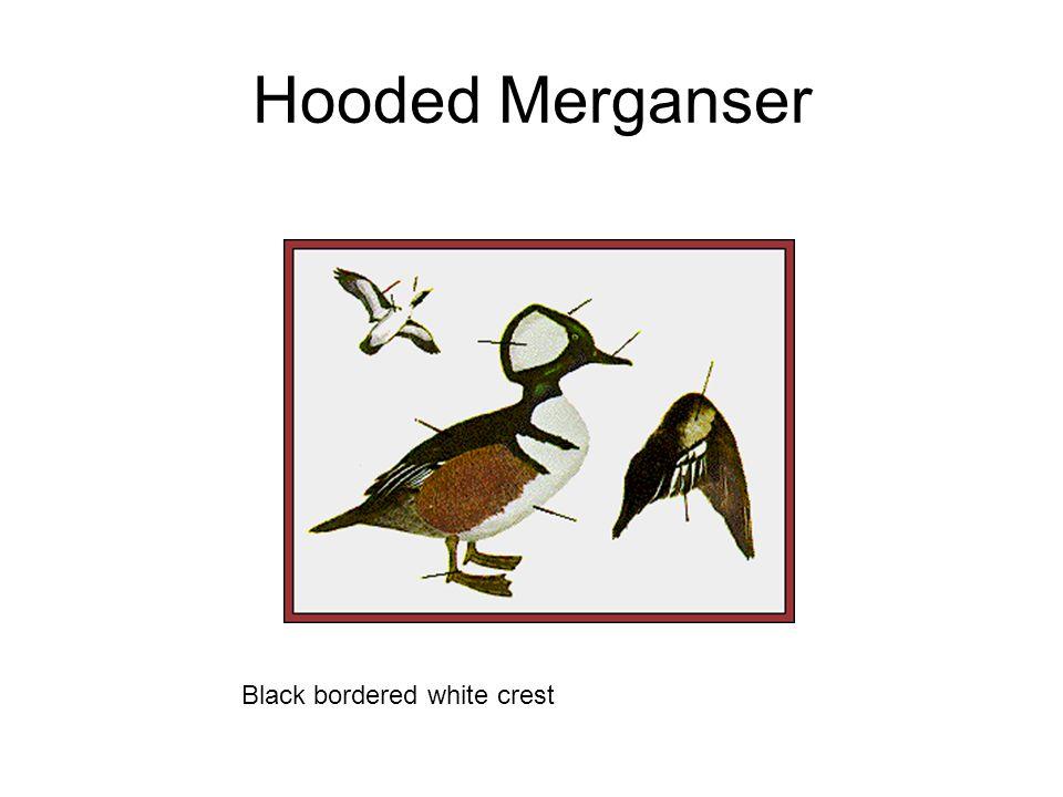Hooded Merganser Black bordered white crest