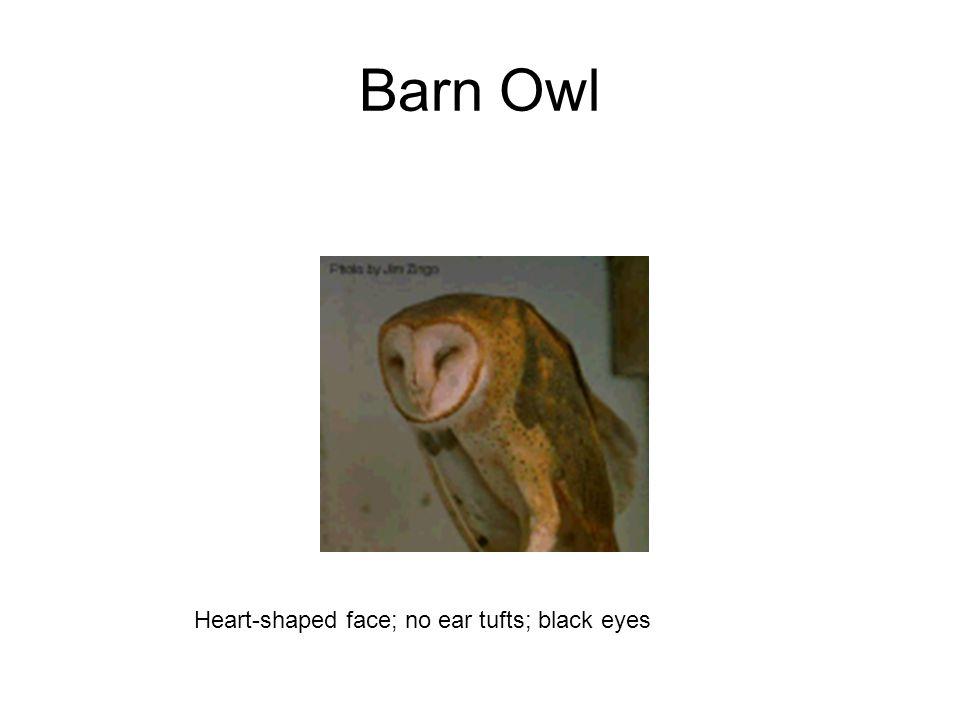 Barn Owl Heart-shaped face; no ear tufts; black eyes