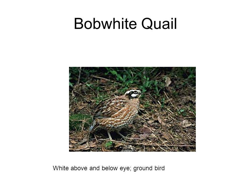 Bobwhite Quail White above and below eye; ground bird