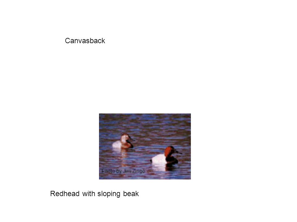 Canvasback Redhead with sloping beak