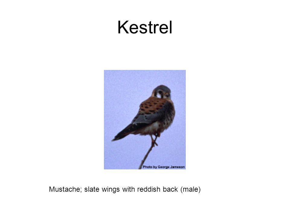 Kestrel Mustache; slate wings with reddish back (male)