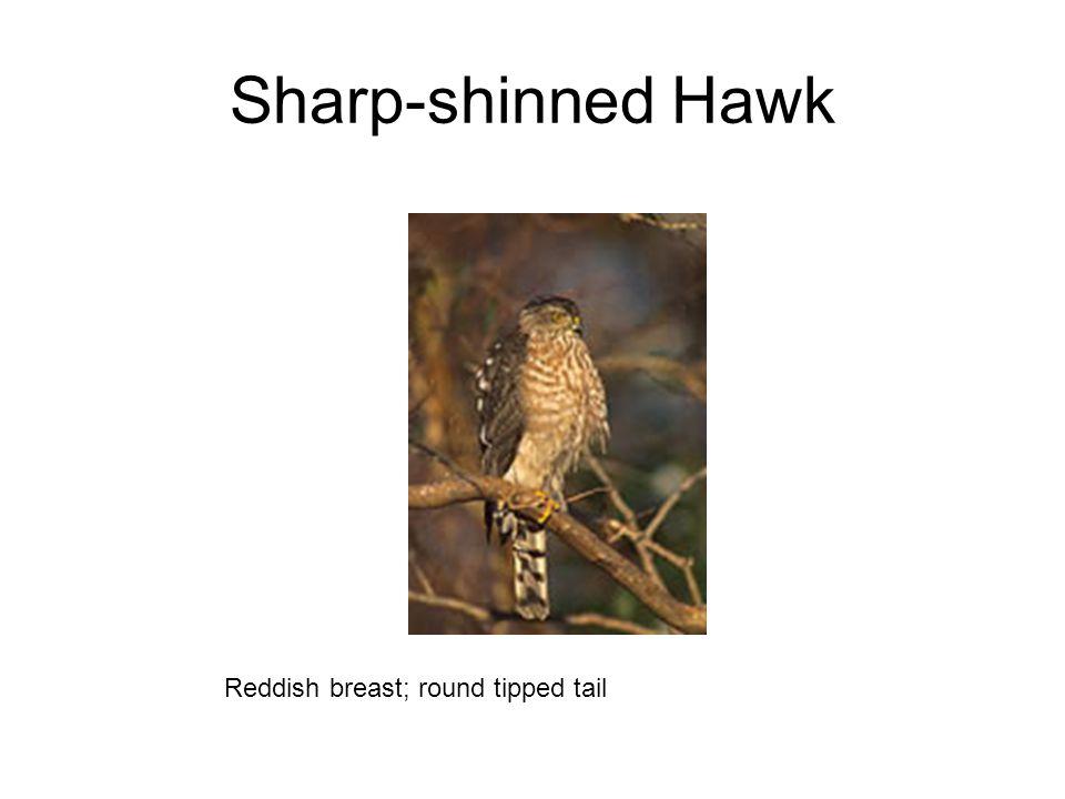 Sharp-shinned Hawk Reddish breast; round tipped tail