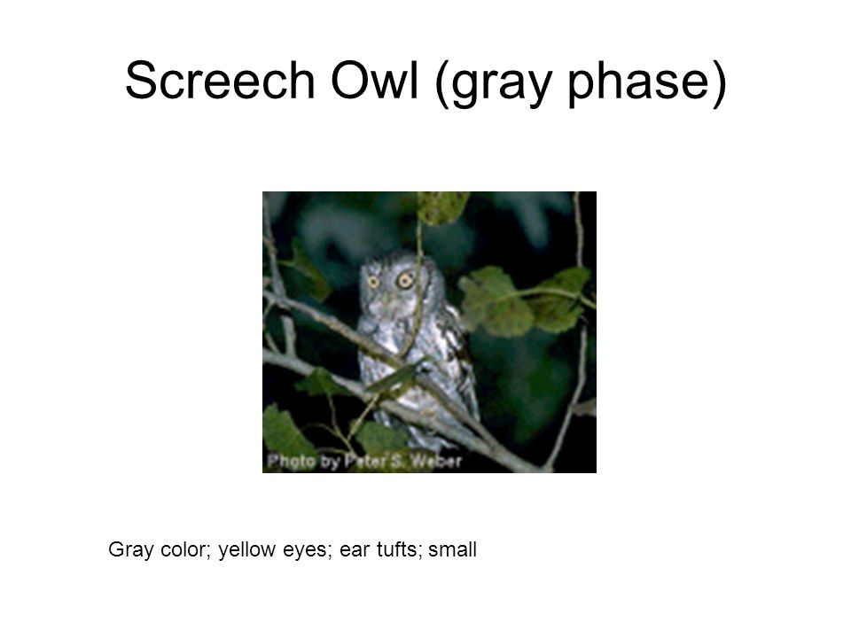 Screech Owl (gray phase) Gray color; yellow eyes; ear tufts; small