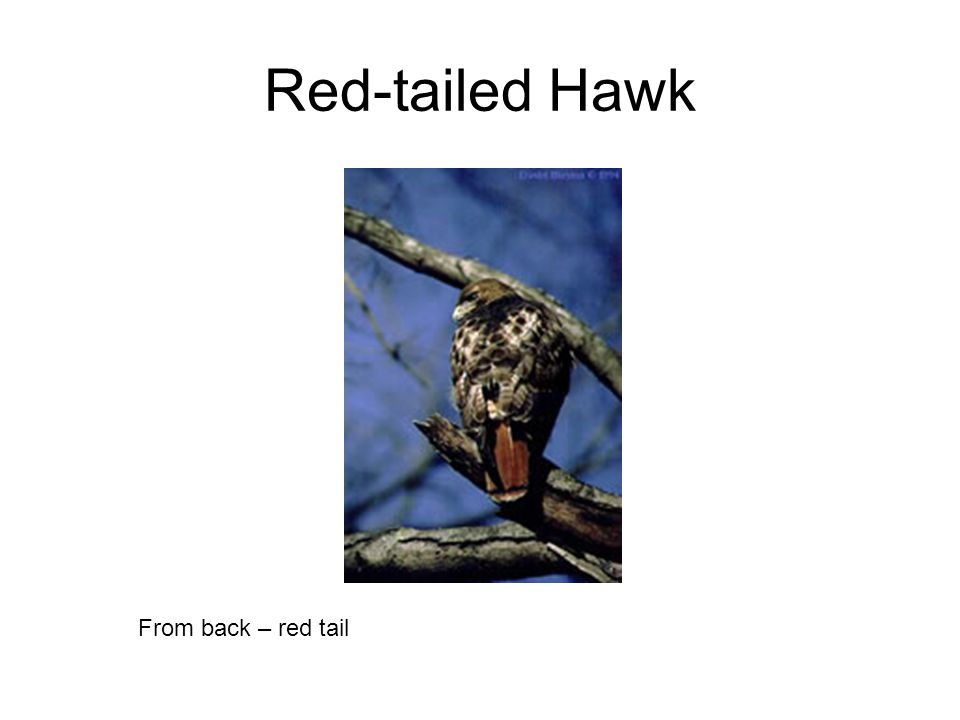 Red-tailed Hawk From back – red tail