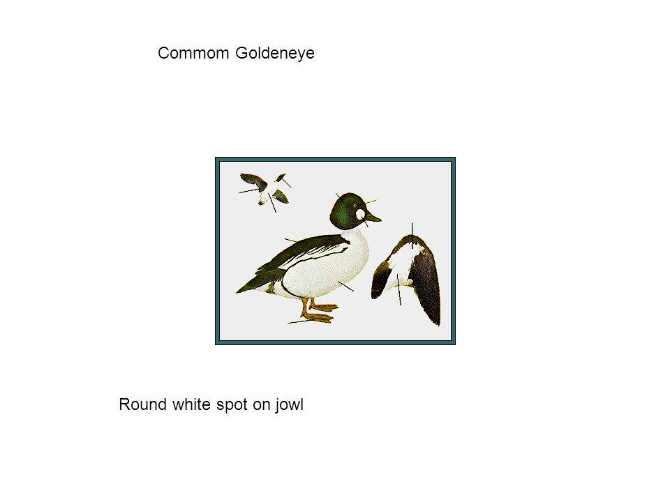 Commom Goldeneye Round white spot on jowl