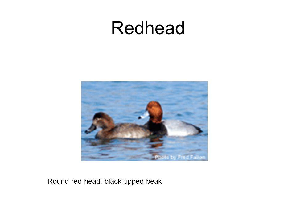 Redhead Round red head; black tipped beak