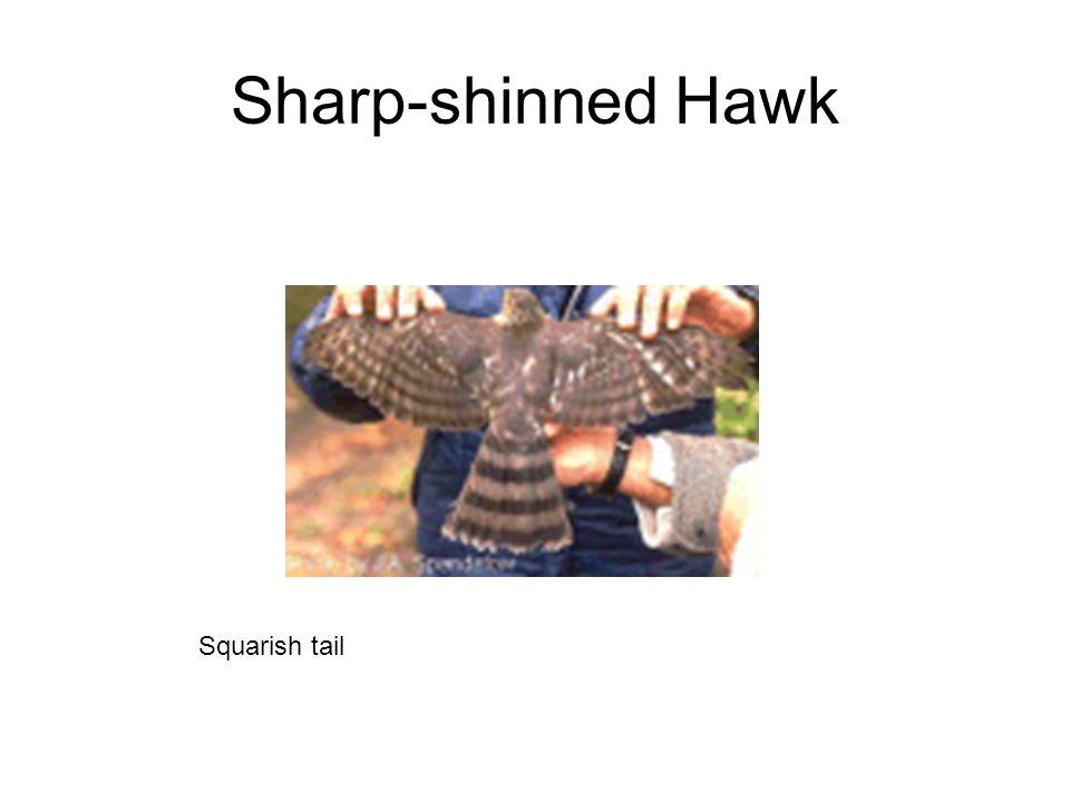 Sharp-shinned Hawk Squarish tail