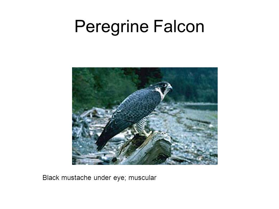 Peregrine Falcon Black mustache under eye; muscular