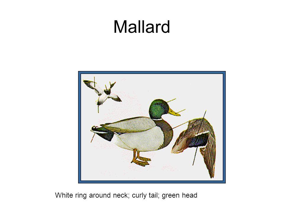 Mallard White ring around neck; curly tail; green head
