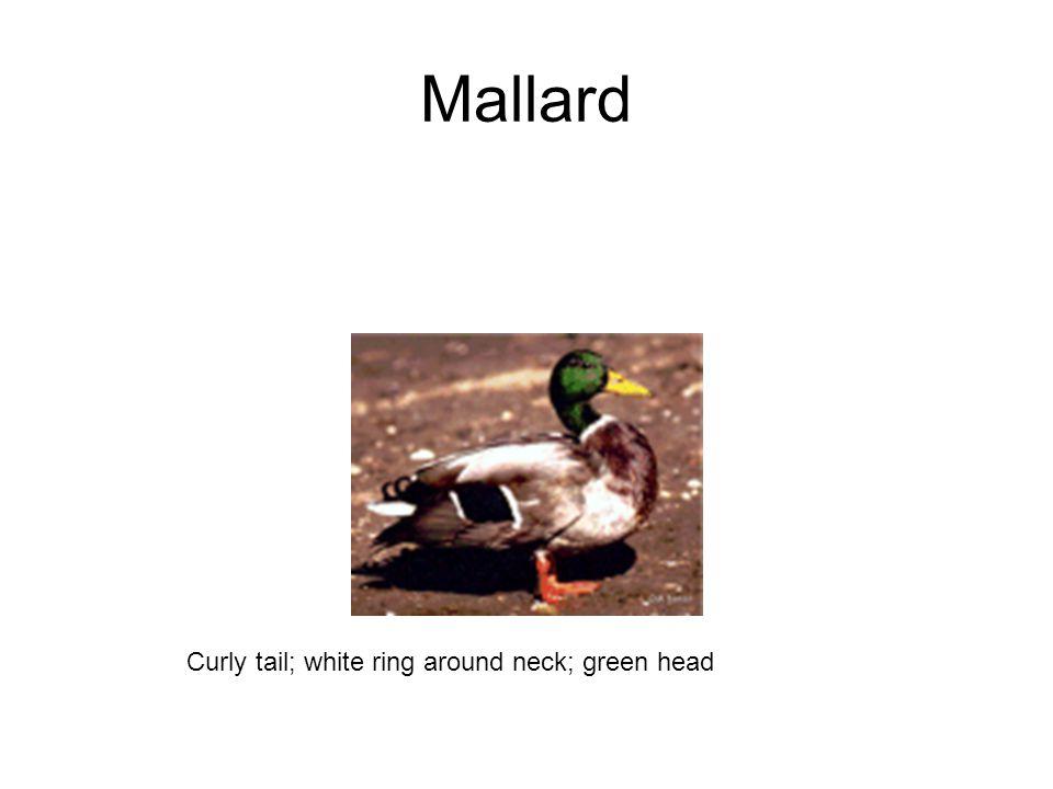 Mallard Curly tail; white ring around neck; green head