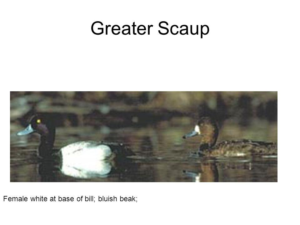 Greater Scaup Female white at base of bill; bluish beak;