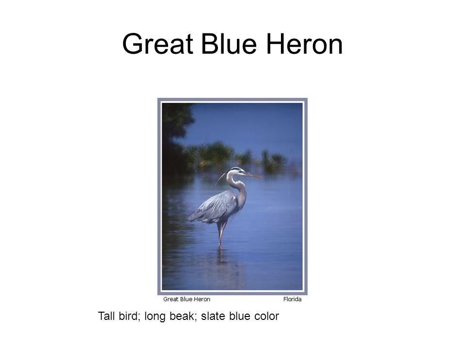 Great Blue Heron Tall bird; long beak; slate blue color