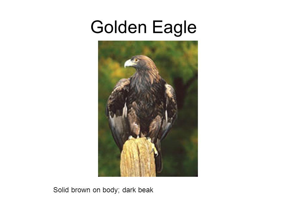 Golden Eagle Solid brown on body; dark beak