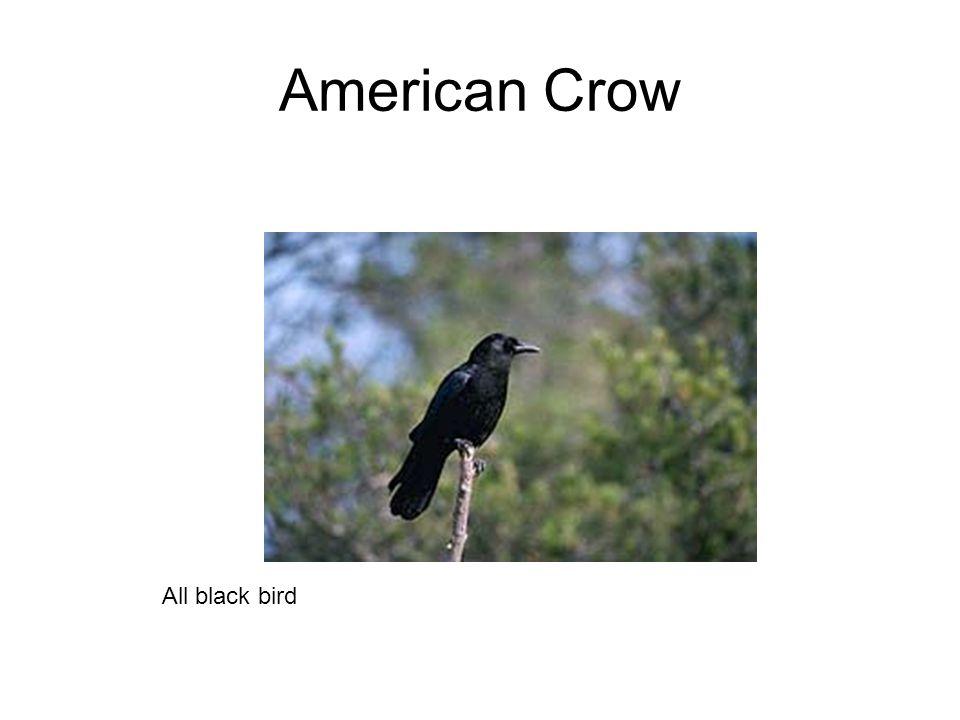 American Crow All black bird