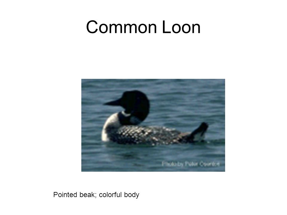Common Loon Pointed beak; colorful body