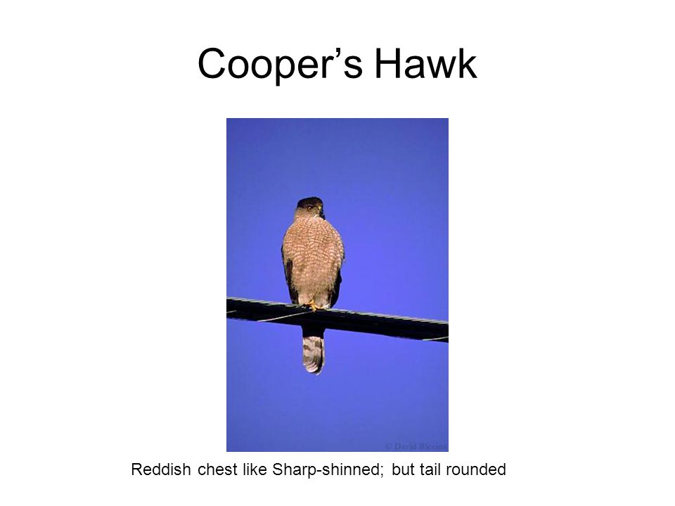 Cooper's Hawk Reddish chest like Sharp-shinned; but tail rounded