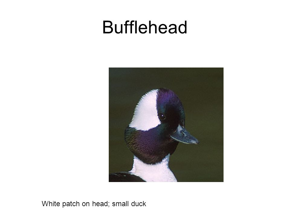 Bufflehead White patch on head; small duck