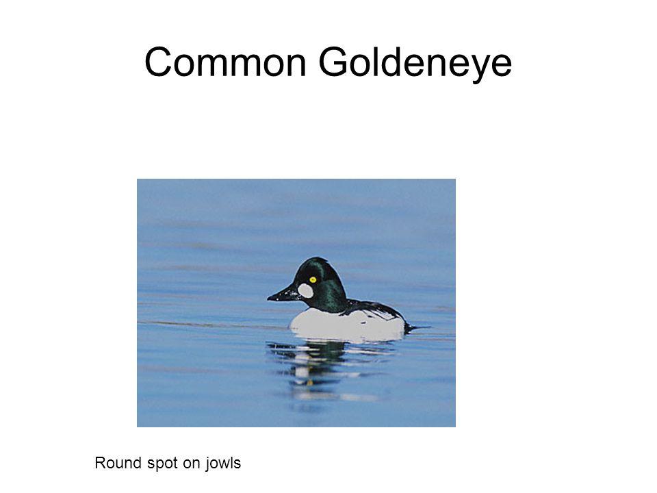 Common Goldeneye Round spot on jowls