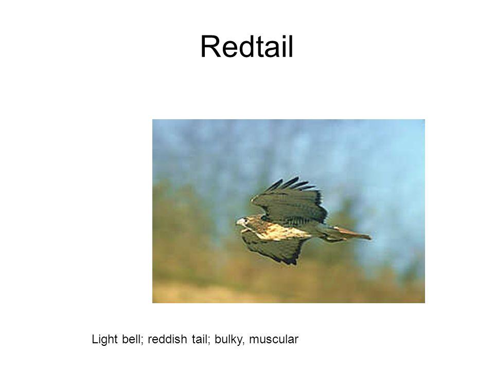 Redtail Light bell; reddish tail; bulky, muscular