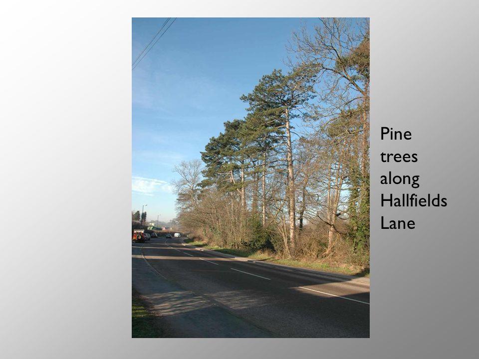 Pine trees along Hallfields Lane