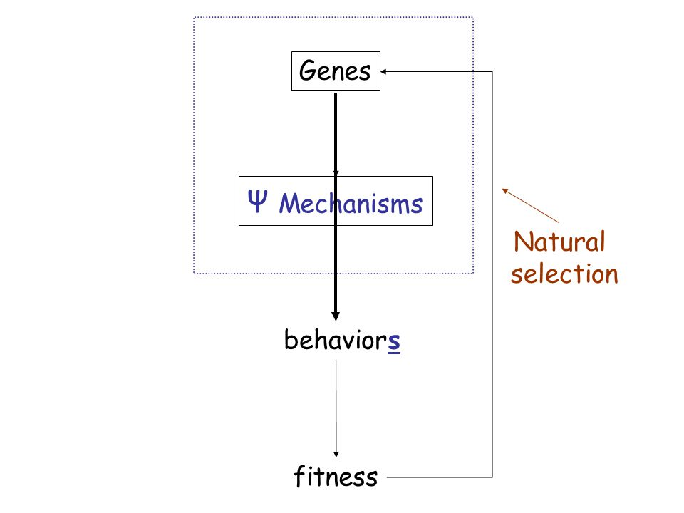 Genes Ψ Mechanisms behavior fitness Natural selection s
