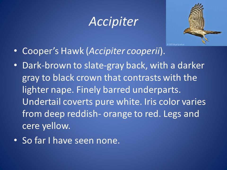 Accipiter Cooper's Hawk (Accipiter cooperii). Dark-brown to slate-gray back, with a darker gray to black crown that contrasts with the lighter nape. F