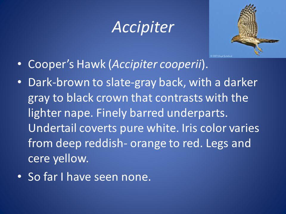 Accipiter Cooper's Hawk (Accipiter cooperii).