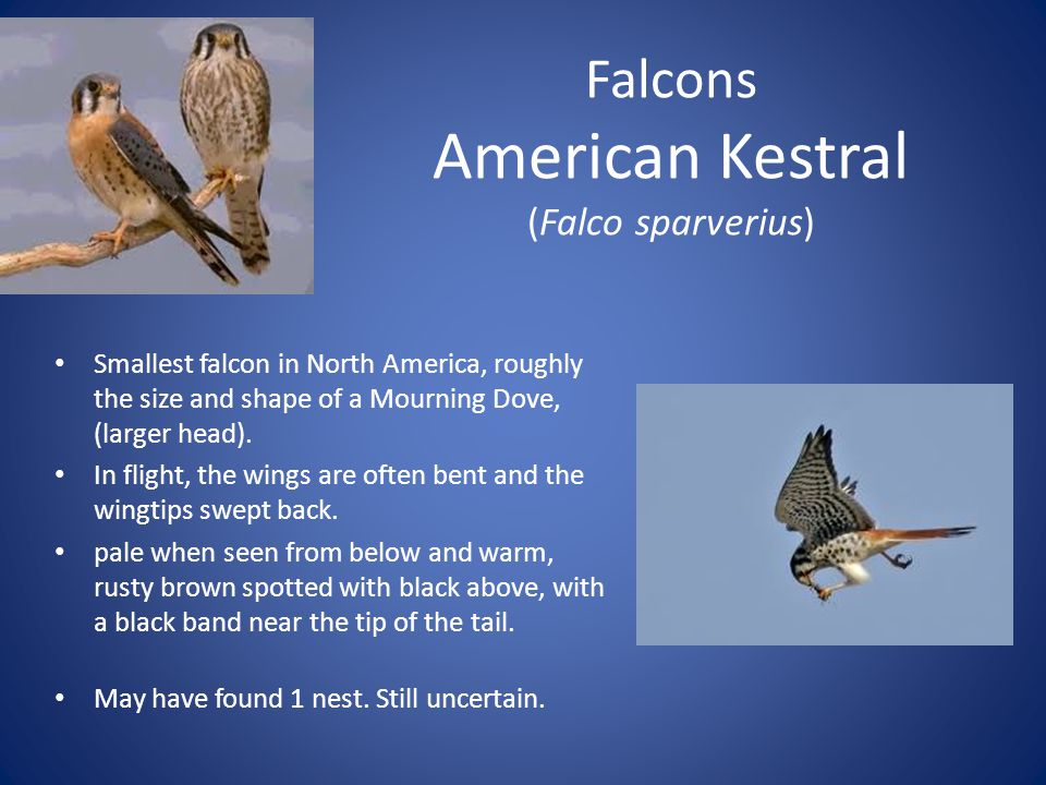 Falcons American Kestral (Falco sparverius) Smallest falcon in North America, roughly the size and shape of a Mourning Dove, (larger head).
