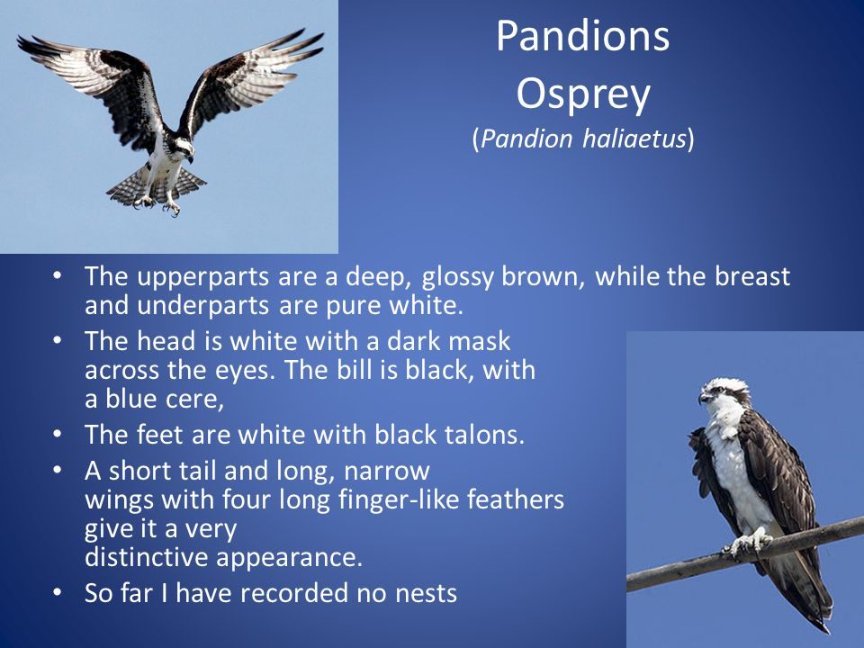 Pandions Osprey (Pandion haliaetus) The upperparts are a deep, glossy brown, while the breast and underparts are pure white.