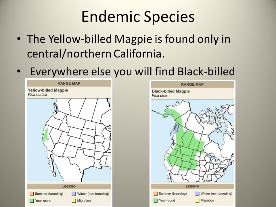 Endemic Species The Yellow-billed Magpie is found only in central/northern California.