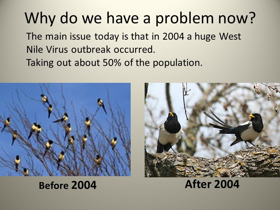 Magpies are very susceptible to West Nile Virus Magpies build nests close to water where there are more mosquitoes 25% of scrub jays can survive West Nile Virus, only 5% of Magpies do