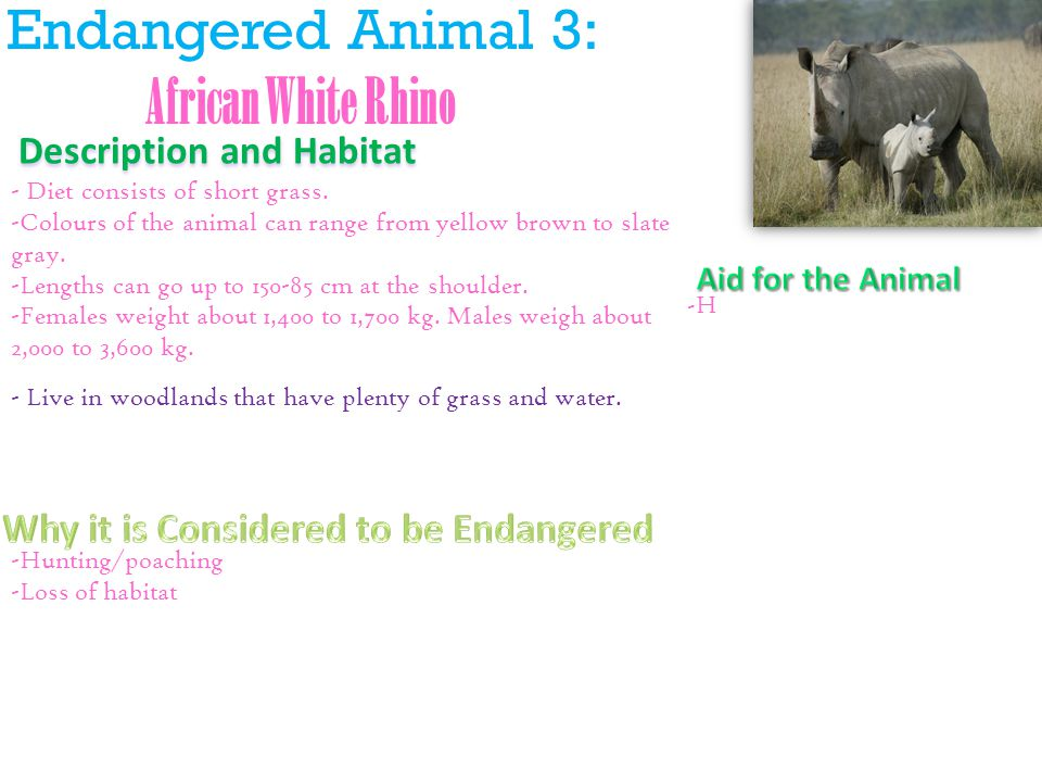 Endangered Animal 3: African White Rhino Description and Habitat - Diet consists of short grass.