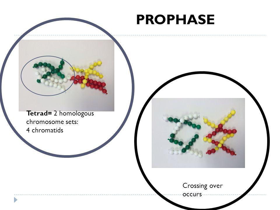 PROPHASE Crossing over occurs Tetrad= 2 homologous chromosome sets: 4 chromatids