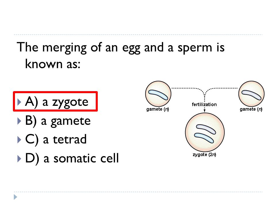 The merging of an egg and a sperm is known as:  A) a zygote  B) a gamete  C) a tetrad  D) a somatic cell