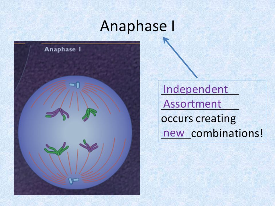 Anaphase I _____________ _____________ occurs creating _____combinations! Independent Assortment new