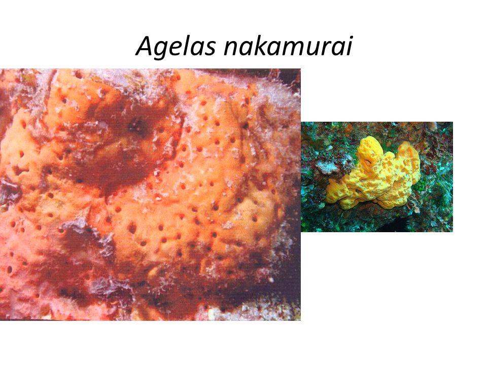 Agelas nakamurai