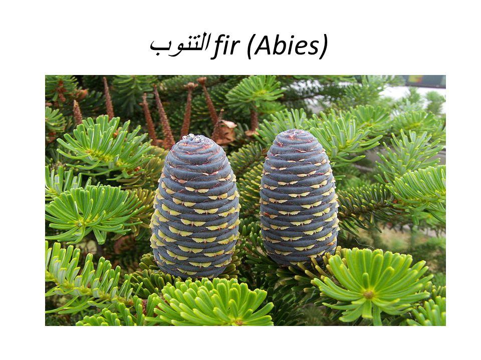 fir (Abies) التنوب